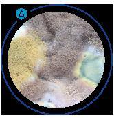Sporii fungici